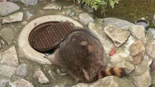 アライグマ『カール』の健康チェック (茶臼山動物園) 2018年4月15日