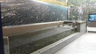 3-1 下流域の魚と簗漁 (琵琶湖博物館 水族展示室) 2019年10月30日