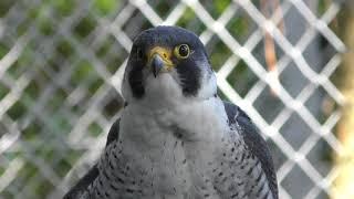 ハヤブサ目 Falconiformes