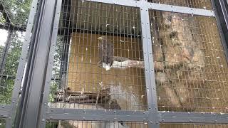 オジロワシ の『ホタル』と『コジロウ』 (平川動物公園) 2018年7月29日