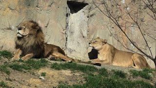 ライオン の『シンヤ』と『アミ』 (みさき公園) 2020年1月19日