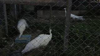 夜のシロクジャク (東武動物公園) 2017年7月15日