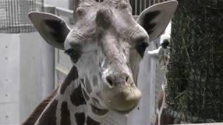 キリン (よこはま動物園ズーラシア) 2017年11月23日
