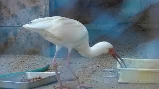 シロトキ (久留米市鳥類センター) 2019年4月19日