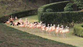 フラミンゴショー (宮崎市フェニックス自然動物園) 2019年12月9日