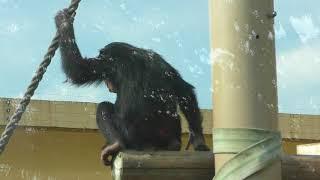 チンパンジー (京都市動物園) 2017年11月5日