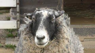 ロマノフスキー Romanov sheep