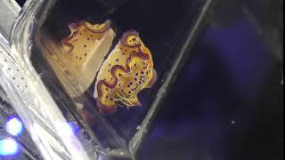 オトヒメウミウシ (いおワールドかごしま水族館) 2018年7月28日