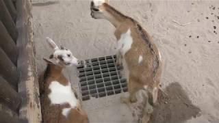 ヤギ と ヒツジ (平川動物公園) 2018年7月29日