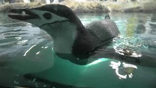 ヒゲペンギン (アドベンチャーワールド) 2020年1月18日