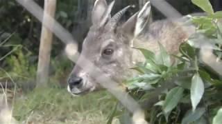 オナガゴーラルのホンホン (京都市動物園) 2017年11月5日