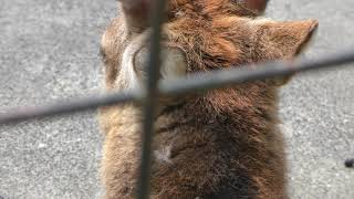 ヤクシカ (羽村市動物公園) 2018年4月8日