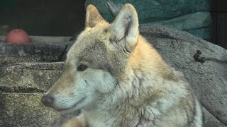チュウゴクオオカミ (天王寺動物園) 2020年12月23日