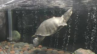 スッポンモドキ (響灘緑地グリーンパーク・熱帯生態園) 2019年4月25日