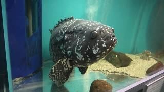 タマカイ (福山大学マリンバイオセンター 水族館) 2019年12月26日