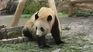 Giant panda (ADVENTURE WORLD, Wakayama, Japan) January 18, 2020