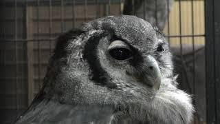 Verreaux's Eagle-owl (Fuji Kachoen Garden Park, Shizuoka, Japan) November 25, 2018