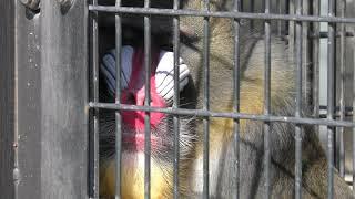 マンドリル (福山市立動物園) 2019年2月25日