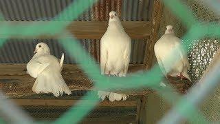 インドクジャク と クジャクバト (宝登山 小動物公園) 2019年10月2日