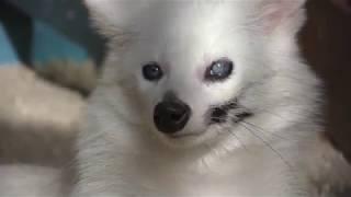 白タヌキのミルミルちゃん (大内山動物園) 2018年1月3日