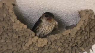 コシアカツバメ (日本平動物園) 2018年8月5日
