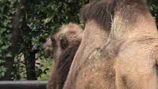 Bactrian camel (TOBE ZOOLOGICAL PARK OF EHIME PREF., Ehime, Japan) December 25, 2019