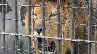 ライオン の『モイカ』と『シジミ』 (周南市 徳山動物園) 2019年4月26日