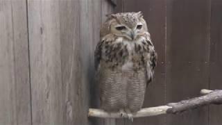 Pharaoh eagle-owl (Fuji Kachoen Garden Park, Shizuoka, Japan) November 25, 2018