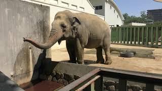 水を飲む アジアゾウ の『ズゼ』 (神戸市立 王子動物園) 2019年5月24日