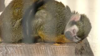 Squirrel Monkey (Kuragaike Park, Aichi, Japan) January 24, 2019