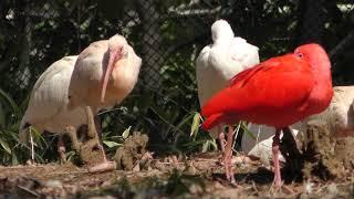 シロトキとショウジョウトキ (市川市動植物園) 2018年3月4日