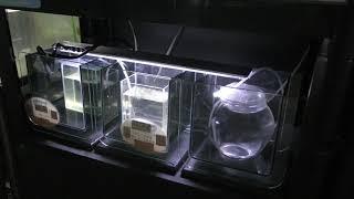 クラゲコーナー (標津サーモン科学館) 2019年6月30日