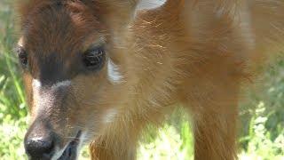 生後2日の シタツンガ の赤ちゃん (王子動物園) 2019年5月24日