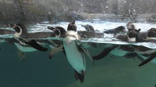 フンボルトペンギン (城崎マリンワールド) 2019年11月26日