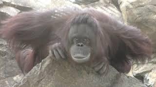 ボルネオオランウータン の『バレンタイン』 (多摩動物公園) 2019年1月18日