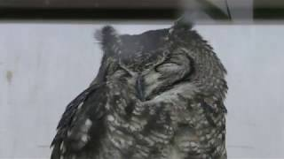 Spotted Eagle-owl (Kakegawa Kachouen, Shizuoka, Japan) December 10, 2017