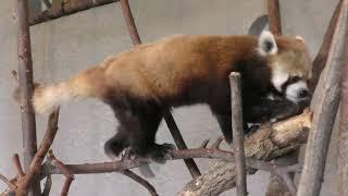 シセンレッサーパンダ の『セイタ』 (札幌市 円山動物園) 2019年6月13日