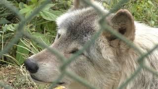 シンリンオオカミ の『ターボ』『フィリップ』『ビートン』 (群馬サファリパーク) 2018年11月10日