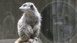 Meerkat (Ueno Zoological Gardens, Tokyo, Japan) October 29, 2017