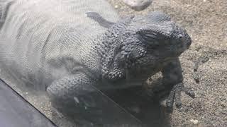 トゲチャクワラ (円山動物園) 2018年2月12日