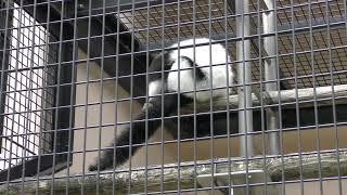 エリマキキツネザル (札幌市 円山動物園) 2019年6月13日