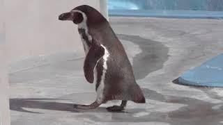フンボルトペンギンのアースくんとミナトくん (野毛山動物園) 2017年12月16日