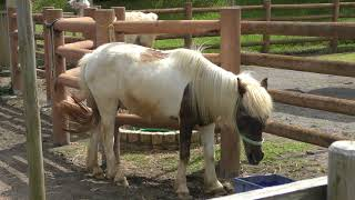 シェトランドポニー Shetland pony
