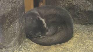寒い朝のコツメカワウソ (東山動植物園) 2017年11月18日