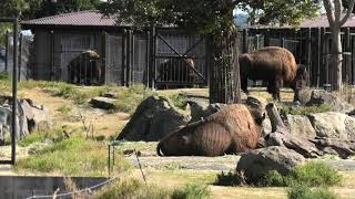 American bison (ADVENTURE WORLD, Wakayama, Japan) January 18, 2020