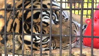 スマトラトラ の『ファントム』 (宮崎市フェニックス自然動物園) 2019年12月9日