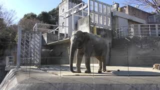 アジアゾウ の『アマラ』と『ヴィドゥラ』 (多摩動物公園) 2019年1月18日