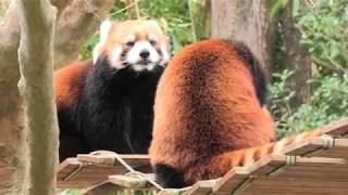 レッサーパンダ の『みたらし』と『マロン』 (高知県立のいち動物公園) 2019年12月21日