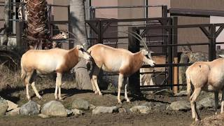 Scimitar-horned oryx (ADVENTURE WORLD, Wakayama, Japan) January 18, 2020