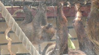 ナマケモノの赤ちゃん (埼玉県こども動物自然公園) 2018年2月3日